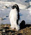 着ぐるみペンギン!? 夏毛から冬毛へ生え替わり中