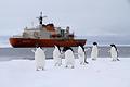アデリーペンギンたちはクラウン湾に入った観測船しらせに興味津々
