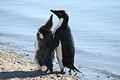 夏はアデリーペンギンの子育ての季節