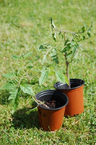 写真:戦利品その1。トマトのポット苗はひとつが30ペンス。旅行者は土つき植物を持ち帰ることはできないが、売られている苗を見て、イギリス人がどんな植物を庭で育てているかを知るのも興味深いのでは