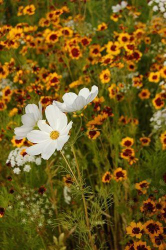 写真:オリンピック・パーク内にはコスモスの花が咲いていた