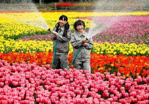 広場いっぱいに咲き誇るチューリップに水をやる須田亜香里さん(左)と都築里佳さん=細川卓撮影