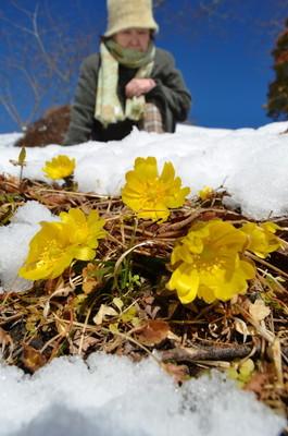 雪が解けた日だまりに顔をのぞかせるフクジュソウ=福島県いわき市三和町
