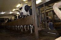 低温殺菌牛乳を製造・出荷している阿部牧場では、16日から、1日約6トンの生乳を搾っては捨てている。断水で、生乳を集めるパイプや製造装置などを洗う水が確保できないためだ=17日午後7時18分、熊本県阿蘇
