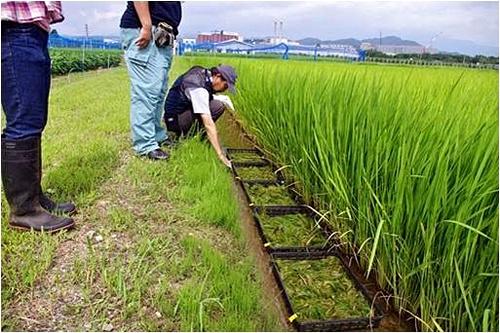 写真:福島県農業総合センター内の水田で実施したマツバイ栽培実験。黒いコンテナケースの中にあるのがマツバイ=福島県郡山市(榊原教授提供)