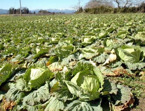写真:畑には自殺した男性が作ったキャベツが並んでいた=福島県須賀川市、西堀写す