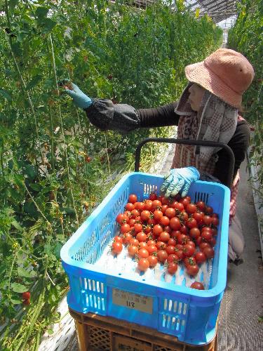 写真:収穫されるトマト。東日本大震災で、香港への... 復興へ向けて〉アジア商機、急停止 - 東