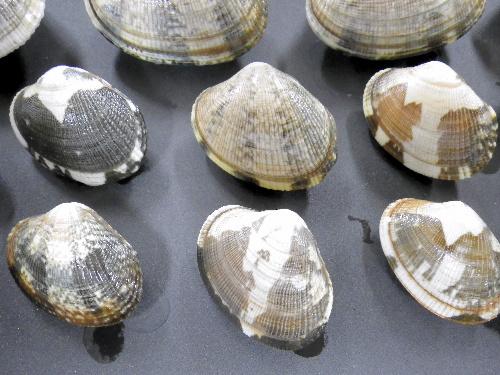 写真:殻の途中で帯状に色や模様が変わったアサリ=大越健嗣・東邦大教授提供