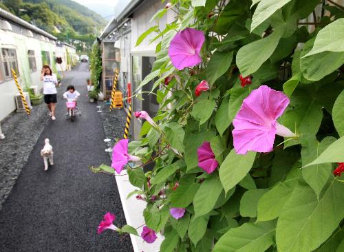 写真:仮設住宅に咲いた「命のアサガオ」=15日、岩手県釜石市、葛谷晋吾撮影