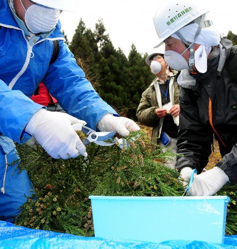 写真:林野庁による現地調査で、スギから雄花を採取する作業員=1日、福島県飯舘村、井上亮撮影