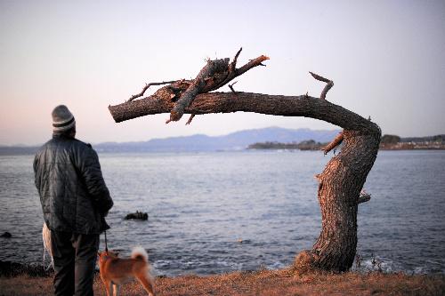 写真:「竜」の形に見える松=7日午前、宮城県気仙沼市、小玉重隆撮影