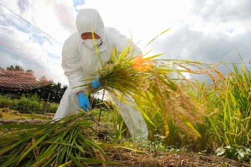 写真:防護服を着て、鎌で実証試験田の稲を刈る男性=10日午前、福島県大熊町、遠藤啓生撮影