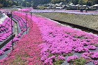 集落一帯を鮮やかに彩るシバザクラ=2015年4月27日、高浜町横津海、大久保直樹撮影