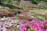 鮮やかに色づくツツジ=2015年4月30日、鯖江市の西山公園、湊彬子撮影