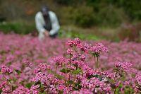 「矢ばなの里」で赤ソバの花、見頃=2013年10月17日、大野市矢、湊彬子撮影