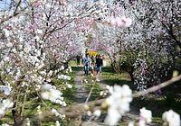 住民が育て、見頃を迎えたハナモモの花=2015年4月23日、大野市西勝原、山田理恵撮影