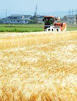 黄金色に輝く六条大麦=2015年5月29日、坂井市春江町金剛寺、小川詩織撮影