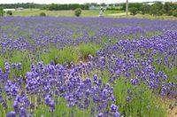 紫じゅうたん4千株 ラベンダーが見頃=2015年6月8日、坂井市三国町加戸、堀川敬部撮影