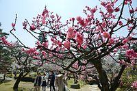 見頃を迎えた兼六園の梅=2014年3月28日、金沢市