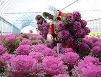 切り花葉ボタンの収穫が最盛期を迎えた=2015年12月17日、金沢市安原町、須藤佳代子撮影