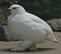 真っ白な羽毛でふわふわのスバールバルライチョウ。いしかわ動物園生まれのメス3歳=2015年10月16日、能美市徳山町、比名祥子撮影