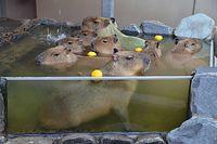 いしかわ動物園のカピバラひしめく「カピバラ湯」=2015年11月30日、能美市徳山町、比名祥子撮影
