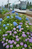 沿線のアジサイが満開となり、乗客の目を楽しませている=2014年6月18日、富山市蓮町3丁目、寺脇毅撮影
