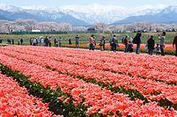 北アルプスと桜並木を背に満開になったチューリップ=2014年4月12日、富山県朝日町、寺脇毅撮影