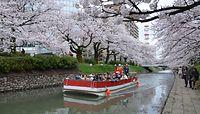 満開の桜並木を多くの人が楽しんだ=富山市中心部の松川沿い=2015年4月4日、富山市中心部の松川沿い、大坪実佳子撮影