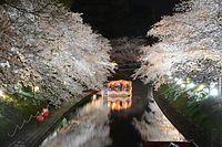 水面に映る桜の間を滑るように進む観光船(7日)。富山地方気象台が、ソメイヨシノの開花を宣言したのは1日。3日後の4日には満開になった。その後しばらく富山市は冷え込み、満開の桜が1週間ほど楽しめた=20