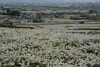 呉羽丘陵を覆うように咲くナシの花=2015年4月21日、富山市吉作、寺脇毅撮影