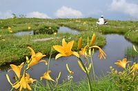 大きな池塘(ち・とう)の周辺に咲いたニッコウキスゲ=2013年7月10日、富山市八尾町、深見朋子撮影
