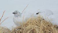 雪の中に座るライチョウ=2014年4月16日、富山県立山町芦峅寺、寺脇毅撮影