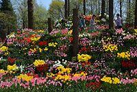6年ぶりに復活したフラワーヒルの散策を楽しむ来場者ら=2015年4月23日、富山県砺波市花園町、寺脇毅撮影