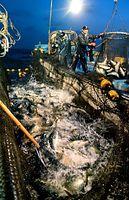 定置網に入ったブリが跳ねる。活気ある漁に表情も明るい=2013年1月15日、富山県氷見市沖、寺脇毅撮影