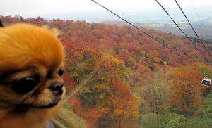 ゴンドラの窓越しに紅葉を見る筆者の愛犬=10月25日、栃木県那須町のマウントジーンズ那須、山村隆雄撮影
