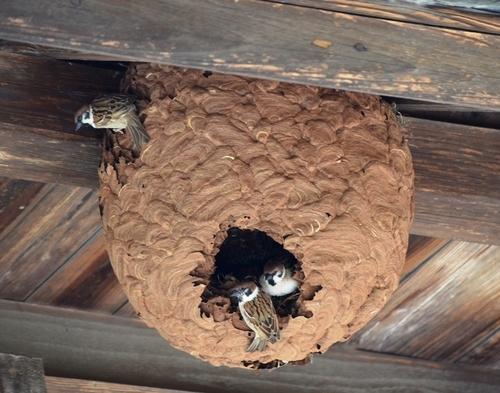 スズメの画像 p1_15