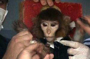 写真:ロケット打ち上げ前に、科学者たちに囲まれる猿。APテレビから=AP