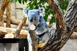 写真:東山動物園のコアラ=名古屋市提供