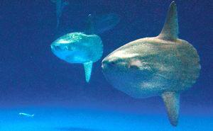 写真:群れから離れ、1匹で泳ぐマイワシ(左下)。マンボウがゆっくりと近づく=21日午後0時21分、名古屋市港区の名古屋港水族館