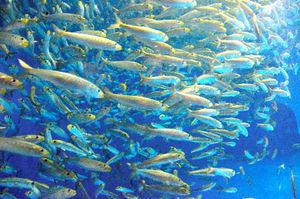 写真:大群で泳ぐマイワシ=21日午後0時35分、名古屋市港区の名古屋港水族館