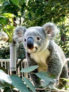 写真:コアラの「タイチ」=東山動物園提供
