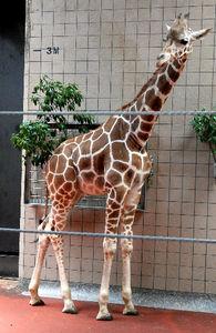 写真:アミメキリンの幸弥=大阪市天王寺区の天王寺動物園