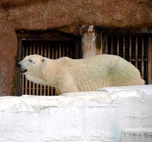 写真:天王寺動物園のホッキョクグマ、バフィン=9月撮影