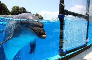 写真:パネルを取り付けると、イルカが興味を持って近づいてきた=4月26日、長崎県佐世保市の九十九島水族館「海きらら」