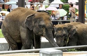 写真:一般公開が始まった2頭のスリランカゾウ=山口県周南市の徳山動物園
