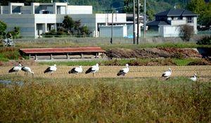 写真:田んぼに飛来したコウノトリの群れ=17日午前9時59分、山口県田布施町、小川裕介撮影