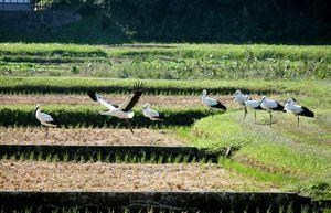 写真:田んぼに飛来したコウノトリ=17日午前10時2分、山口県田布施町、清神清さん提供