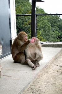 写真:仲間に毛繕いしてもらうベンツ(右)=大分市の高崎山自然動物園