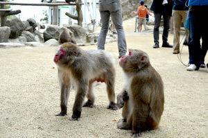 写真:ピーナツテストを受けるベンツ(左)とゾロメ=大分市の高崎山自然動物園